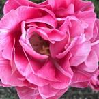 joues roses