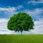 かしの木 oaktree