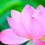 lotus~蓮~