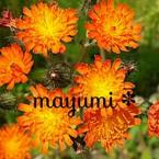 mayumi*