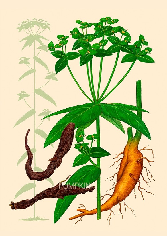 ハーブダイアリー B A4 01 ボタニカルアート イラスト タカトウダイ 植物