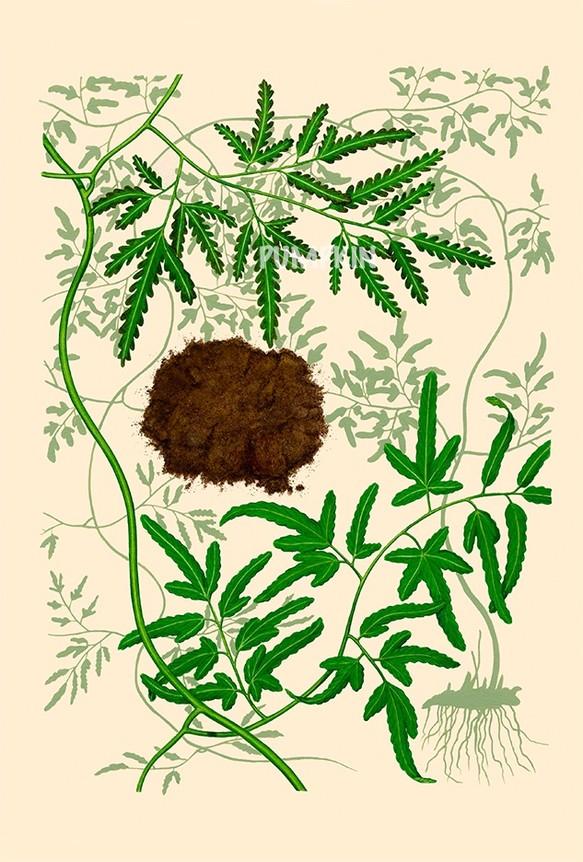 ハーブダイアリー B A4 02 ボタニカルアート イラスト 海金砂 植物画
