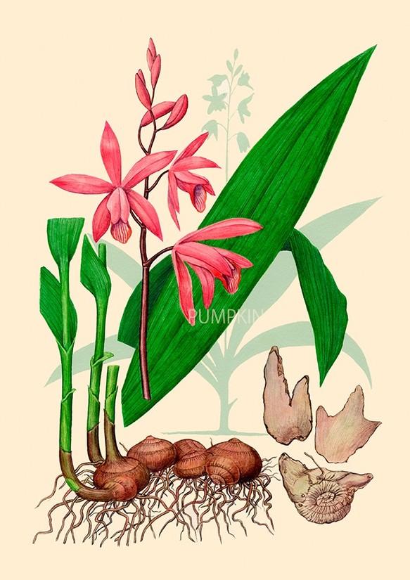 ハーブダイアリー B A4 023 ボタニカルアート イラスト シラン 植物画