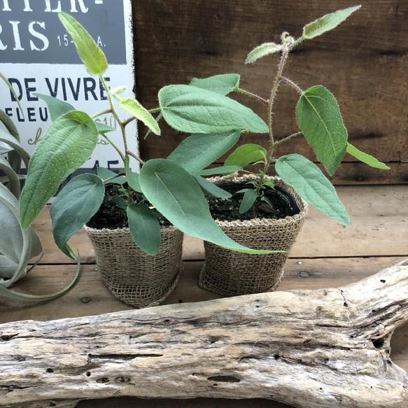 虫除け 観葉 植物