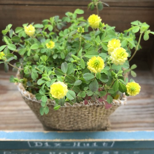 幸せの黄色いクローバー♡グランドカバーに♡ガーデニング♡観葉植物 ...