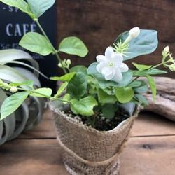 茉莉花の花