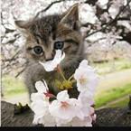 桜にゃんこ