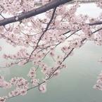 千桜-chisara-