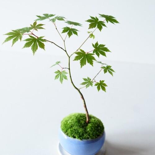 ヤマモミジのミニ盆栽|淡藤のうつわ