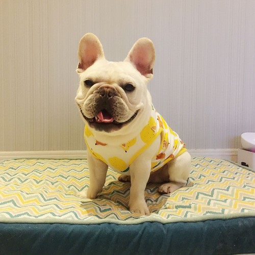 パグ 柴犬