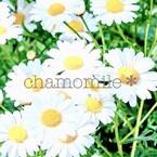 chamomile*