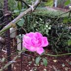 crystal rosa